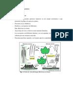 Div. Ascomycota Apotecios