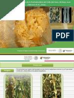 Guia y Sintomas y Daños de La Pdredumbre Del Tallo de Maiz
