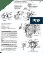 Anatomia Para Colorear. Artic. Gleno-humeral