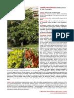 Microsoft Word - Caesalpinia spinosa.pdf