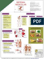 Sistema Muscular Model ULTIMO