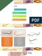 Strongyloides Morfologia
