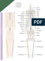 Osteopathy • Chapman's Reflex Points • Anterior