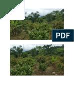Plantacion Cacao