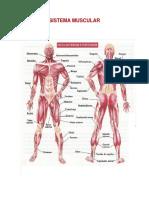 Trabajo Definitivo Muscular (1)