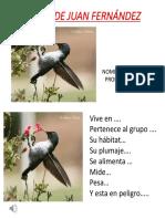 Picaflor de Juan Fernández