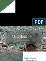 22. Mugiloididae (Yangzon)