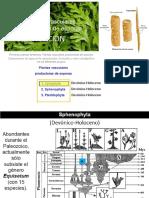 0001c Vasculares Sphenofitas Pteridofitas