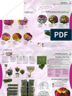 BlondyRomania Catalog Crizanteme Multiflora