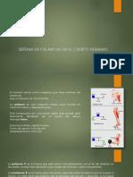 Sistema de Palancas en El Cuerpo Humano