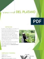 Cultivo Del Platano