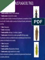 Principales Plagas Del Trigo