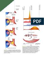 Imágenes embriologia
