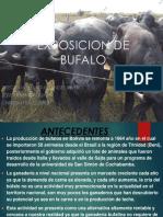 Bufalos de Aponte de Juno