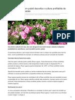 Stiriagricole.ro-idei de Afaceri Cum Puteti Dezvolta o Cultura Profitabila de Trandafiri Pentru Petale