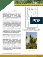 Bailahuen - Haplopappus baylahuen.pdf