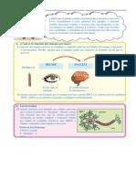 Sistema-Nervioso-para-Quinto-de-Primaria.docx