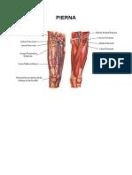 circulacion de la pierna