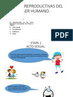 Etapas Reproductivas Del Ser Humano
