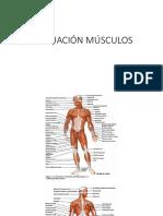 MÚSCULOS EVA.pdf