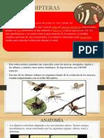 Dipteras