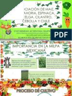 ASOCIACIÒN DE MAIZ, ZANAHORIA, ACELGA.pptx