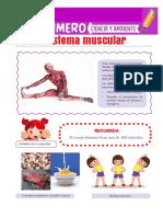 El Sistema Muscular Para Primero de Primaria