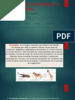 El Aparato Circulatorio en Los Animales
