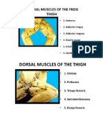 121950484-Frog-s-Muscular-System.pdf
