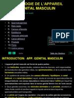Genital Masculin