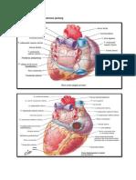 Anatomi Jantung Dan Vaskularisasi Jantung