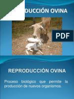 Reproducción ovina