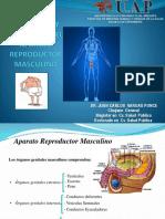 Anatomia y Fisiologia Sistema Reproductor Masculino Uap 2015