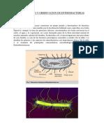 Aislamiento y Observacion de Enterobacterias