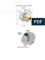 Areas Sensoriales y Motoras de Cerebro