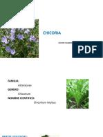 chicoria1