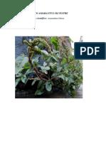 Hataco Amarantus Silvestre