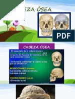 CABEZA OSEA