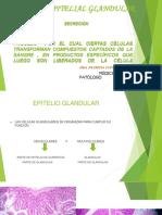 Exposicion de Epitelio Glandular