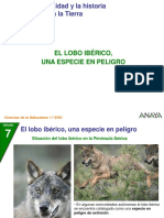 el lobo iberico