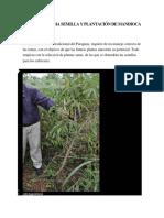 MANEJO DE RAMA SEMILLA Y PLANTACIÓN DE MANDIOCA Ing