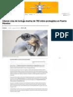 Liberan crías de tortuga marina de 700 nidos protegidos en Puerto Morelos copia