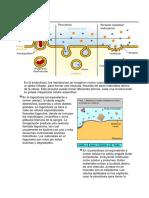 La Endocitosis