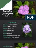 Brunfelsia grandiflora.pptx