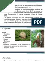 Clasificacion-Gimnospermas