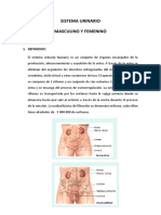 SISTEMA URINARIO MASCULINO Y FEMENINO.docx