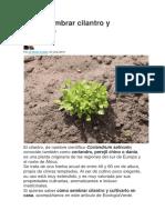 Cómo Sembrar Cilantro y Cultivarlo