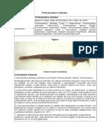 Trichomycterus Areolatus Ficha Chile