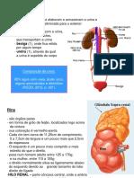 Slides Sistema Urinário
