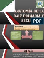 ANATOMÍA DE LA RAÍZ PRIMARIA Y SECUNDARIA.pptx